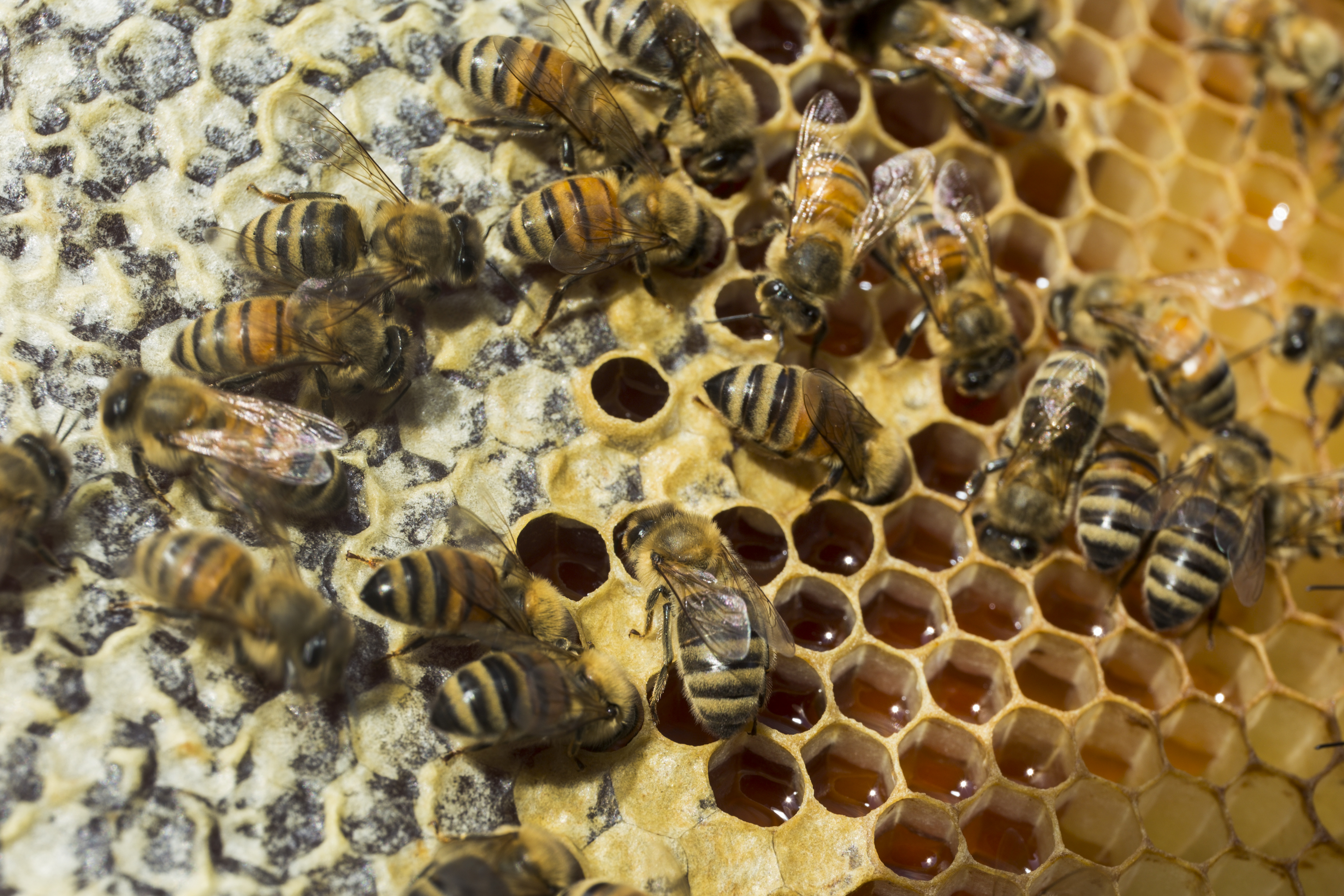 Active honey bees on a hive and comb